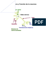 Estructura y Función de la neurona