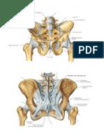 anatomy of the pelvis