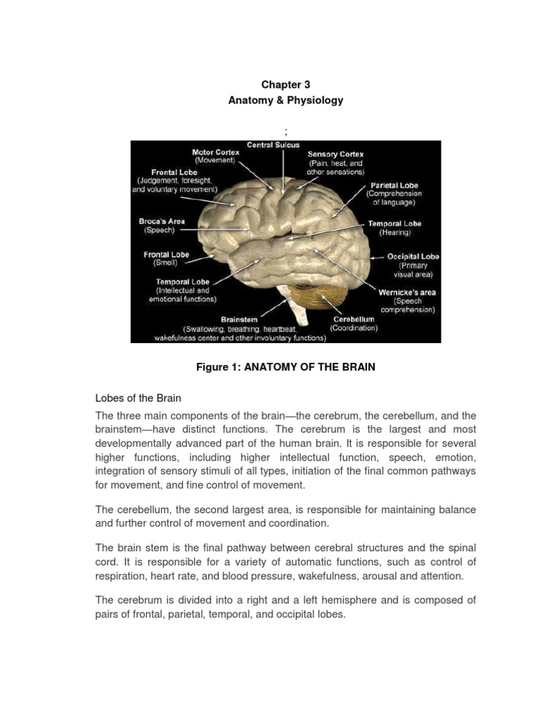 Anatomy and Physiology of the Brain | Cerebrum | Brainstem