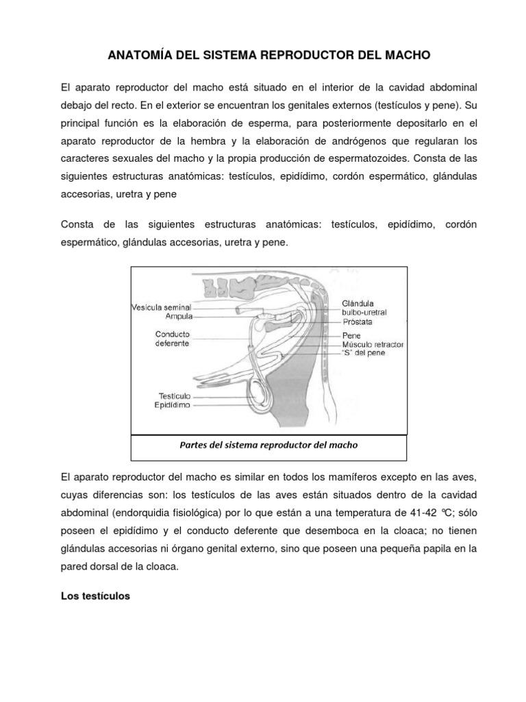 ANATOMÍA DEL SISTEMA REPRODUCTOR DEL MACHO