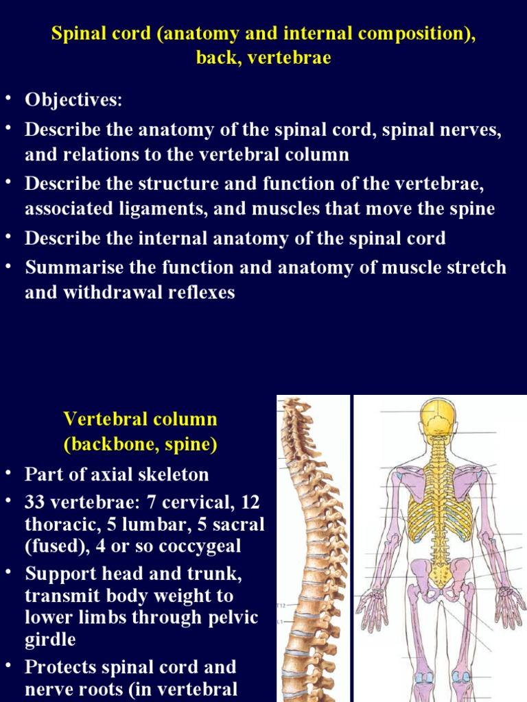 3729020 16 Back Spinal Cord Vertebral Column Vertebra