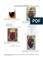chave coleoptera 2.pdf