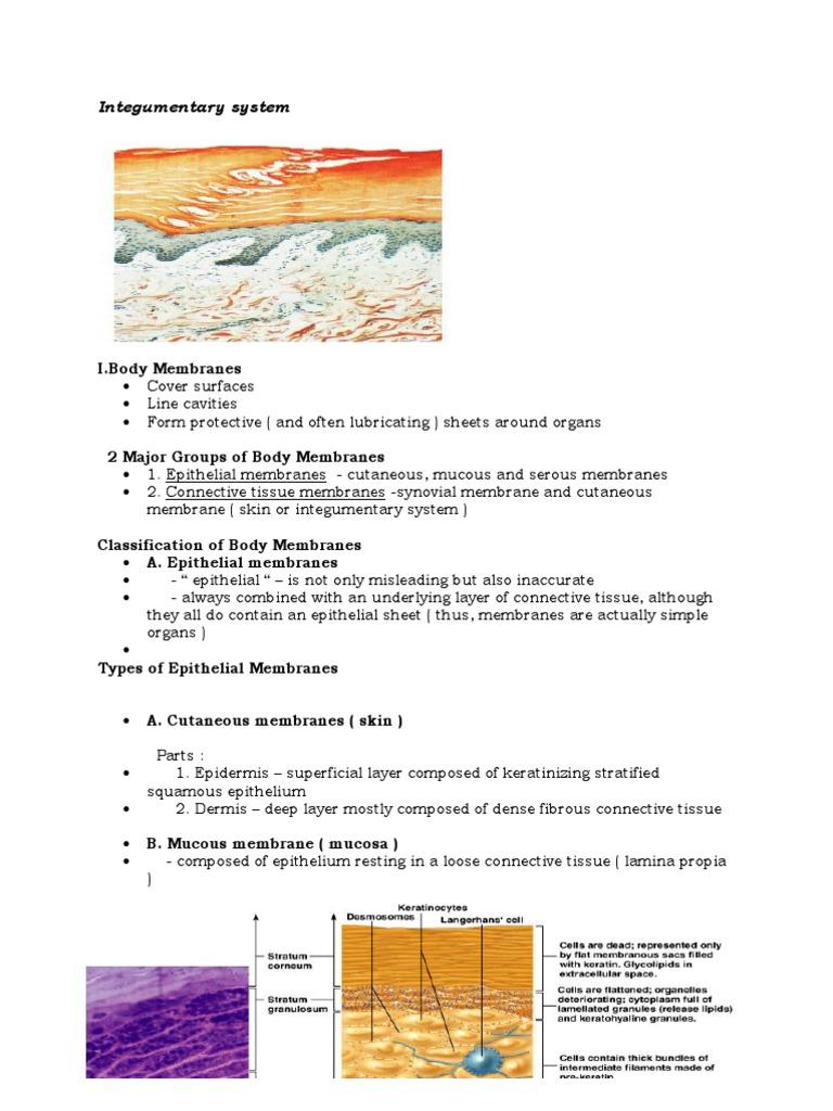 Integumentary System Skin Epithelium