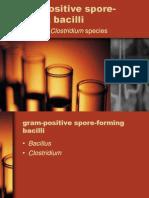 Gram Positive Spore Forming Bacilli