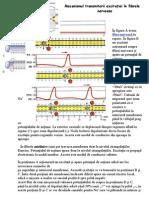 Mecanismul transmiterii excitaţiei în fibrele nervoase