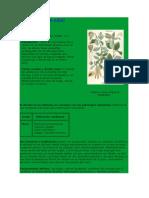 ABEDUL - Betula Alba - Betula Verrucosa