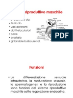 Sistema Riproduttivo Maschile