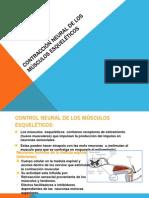 Contracción neural de los músculos esqueléticos
