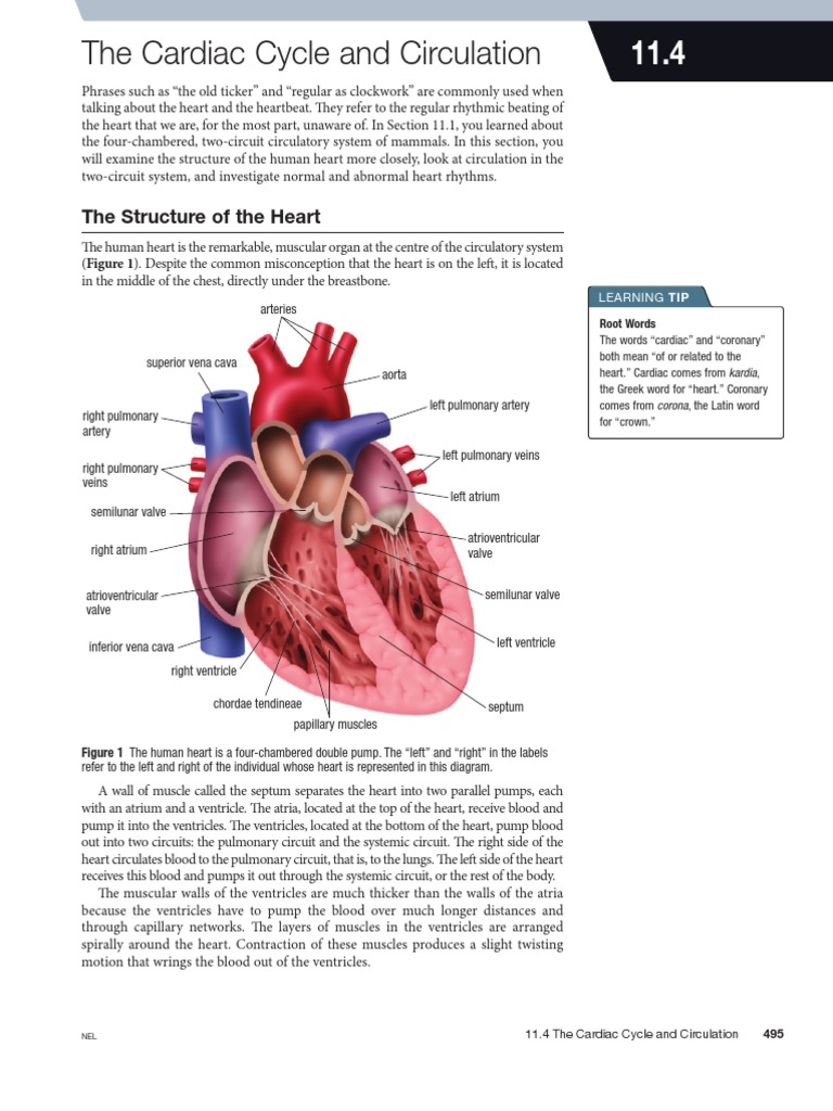 abnormalities in the cardiac cycle essay