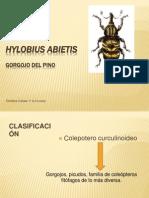 Hylobius abietis