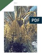 Palmier Dattier- Phoenix Dactylifera