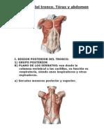 Músculos del tronco[1]