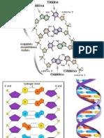 Estructura y Replicacion Genoma