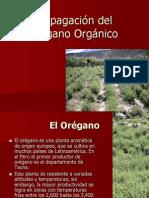 Propagación del Orégano Orgánico