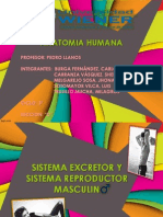 Sistema Excretor y Sistema Reproductor Masculino