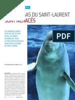 Les bélugas du Saint-Laurent sont menacés