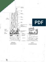 Esquema de Placenta.pdf