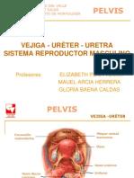 Pelvis Osea-genital Masculino