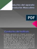 Conductos Del Aparato Reproductor Masculino