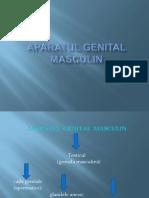 Aparatul  Genital Masculin