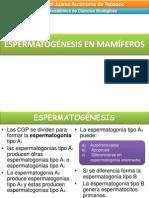 espermatogénesis en mamíferos