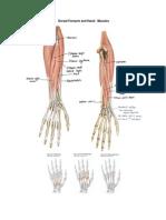 Dorsal Forearm and Hand.docx