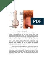 Anatomi Penis