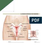 El aparato reproductor femenino 1° de Secundaria