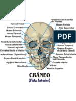 Anatomía humana de los huesos  de la Cara