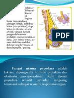 anatomi payudara