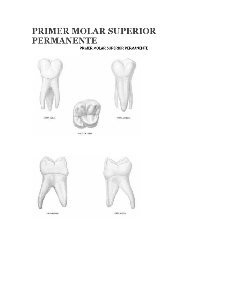 PRIMER MOLAR SUPERIOR PERMANENTE.doc