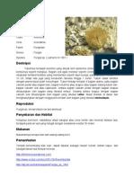 Fungia sp
