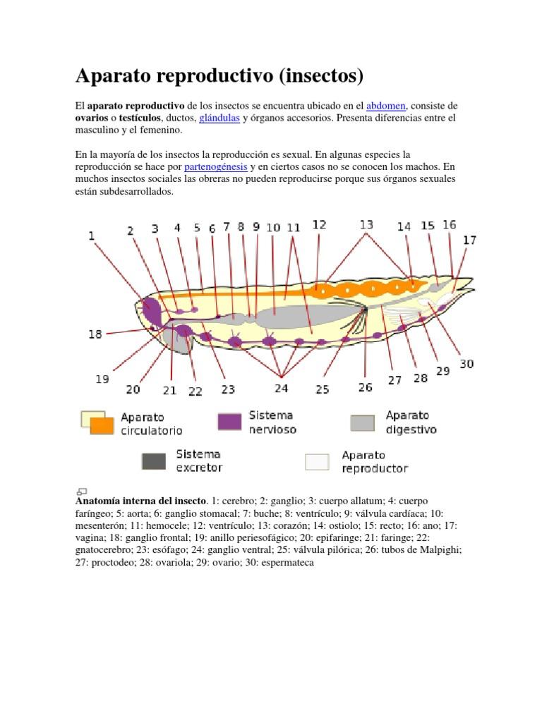 Fantástico Luciérnaga Anatomía De Insectos Bandera - Imágenes de ...