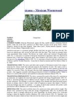 Artemisia mexicana – Mexican Wormwood