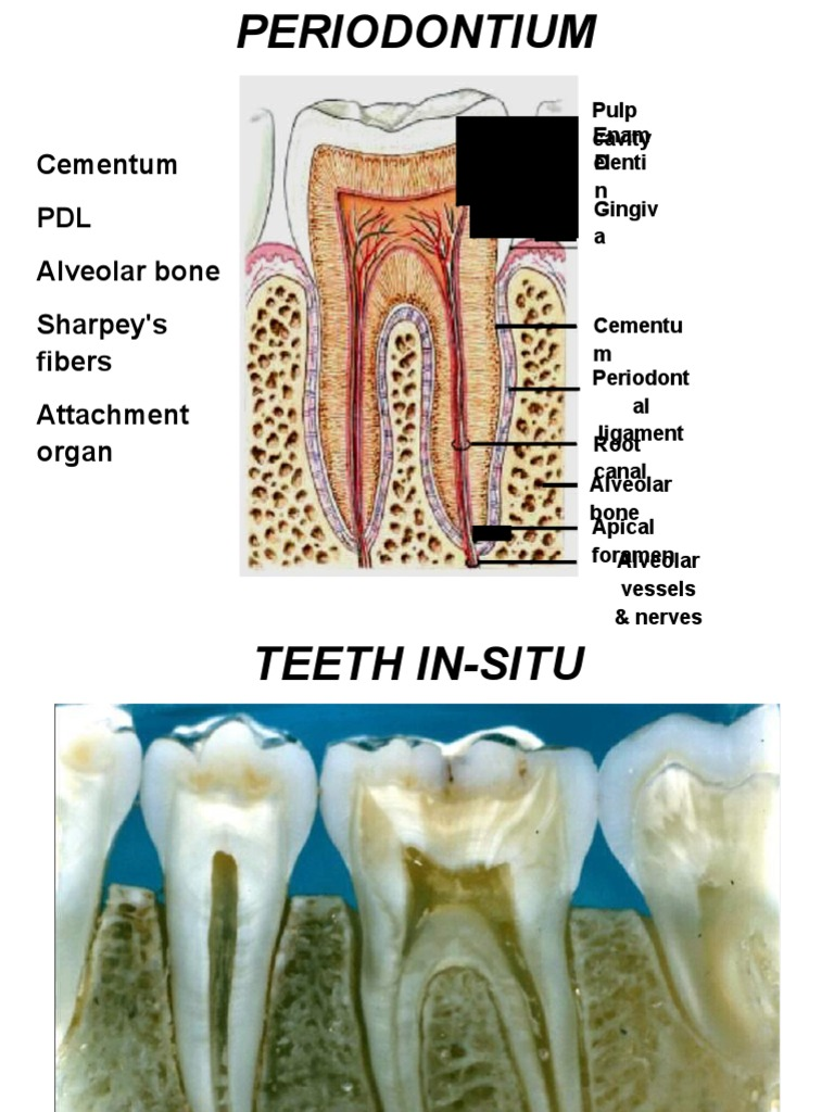 Periodontium | Human Tooth | Tooth