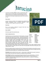 Artemisia vulgaris L
