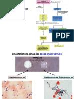 staphylococcus e streptococcus