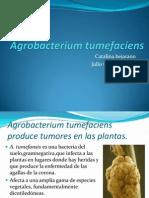 Agrobacterium tumefaciens