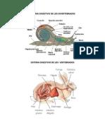 Sistema Digestivo de Los Invertebrados
