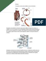 ARTICULACIONES DE LAS COSTILLAS.docx