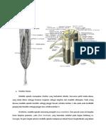 Anatomi Medulla Spinalis
