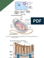 1 - imagini celula