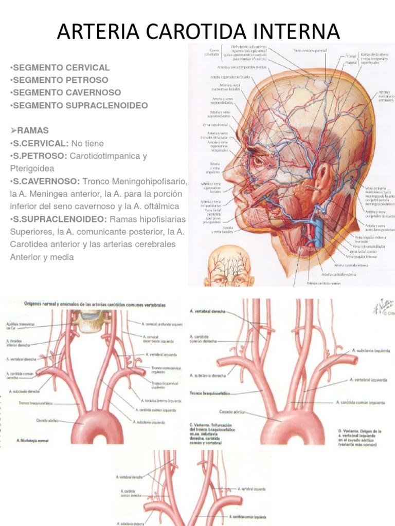 Excelente Ramas De La Arteria Carótida Interna Foto - Imágenes de ...