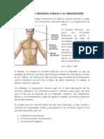 Estructuras Nerviosas Basicas y Su Organizacion Rogelio Lef101 2