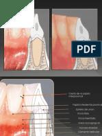 Anatomia Periodonto Normal