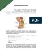 Anatomia de La Rodilla y Gonartrosis