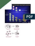 La apoptosis o muerte celular programada es el proceso ordenado por el que la célula muere ante estímulos extra o intracelulares