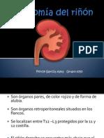 anatomia del riñon