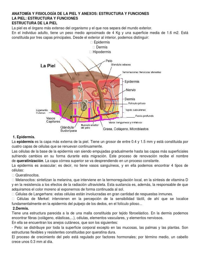 Atractivo Anatomía Y Fisiología De La Piel Motivo - Imágenes de ...