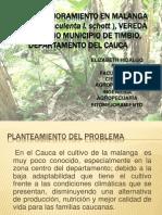 Plan de Majoramiento en Malanga (Colocasia Esculenta9 (1)